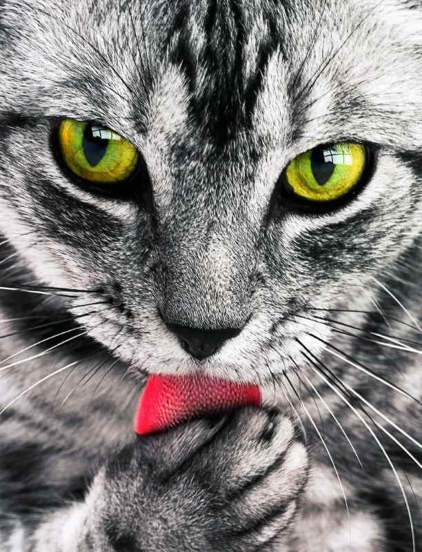 Скумбрия табби, крышная кошка